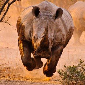 Rhino Poaching in Paris? img01